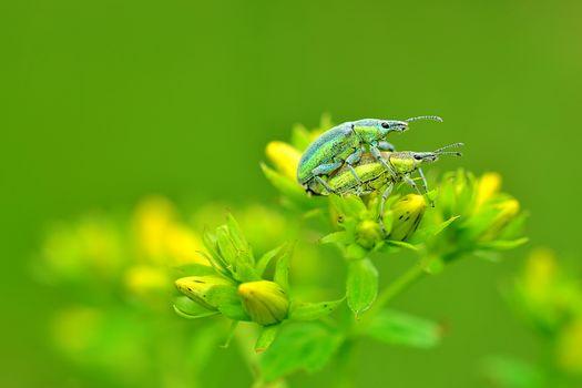 flowers, beetles, macro