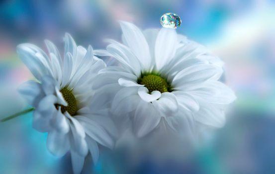 flower, flowers, a drop, chrysanthemum, flora