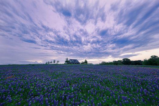sunset, field, flowers, lupine, lodge, landscape