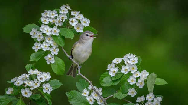 singing vire, bird, bird on branch, flowers
