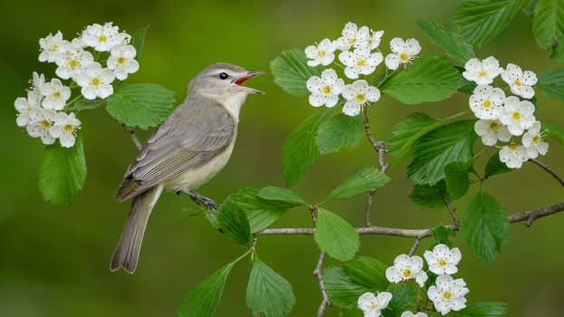 singing vire, bird, bird on branch, flowers
