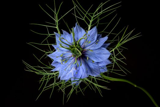 Nigella, flower, flowers, Black background, flora