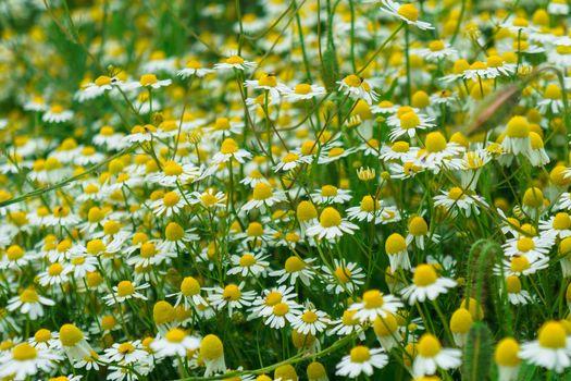 field, flowers, chamomile, flora