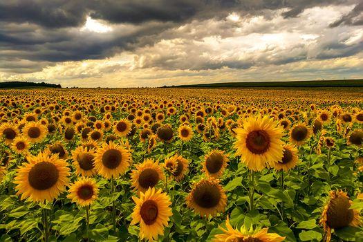 sunset, field, sunflowers, flowers, flora, landscape