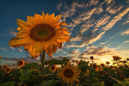 sunset, field, sunflowers, flowers, flora
