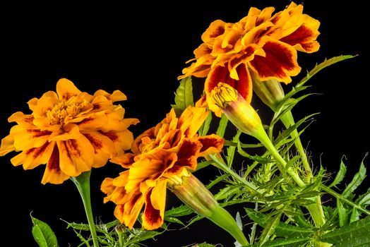 Shotguns, Marigold, flowers, Black background, flora