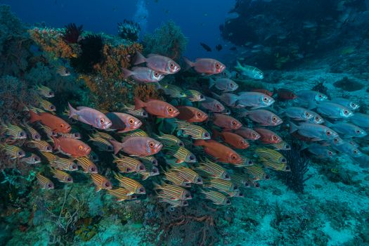 sea, sea ​​bottom, fish, Indonesia, undersea world