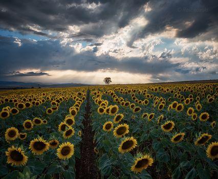 sunset, field, sunflowers, tree, landscape