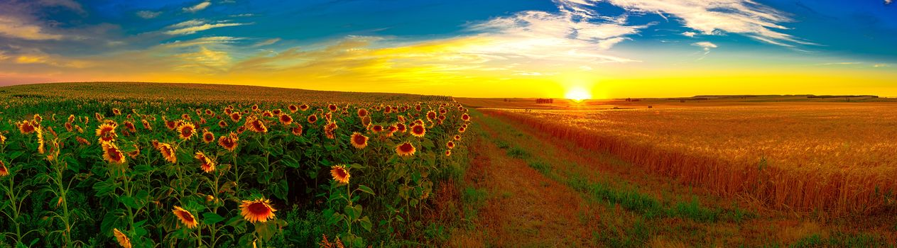 sunset, field, ears, sunflowers, landscape, view