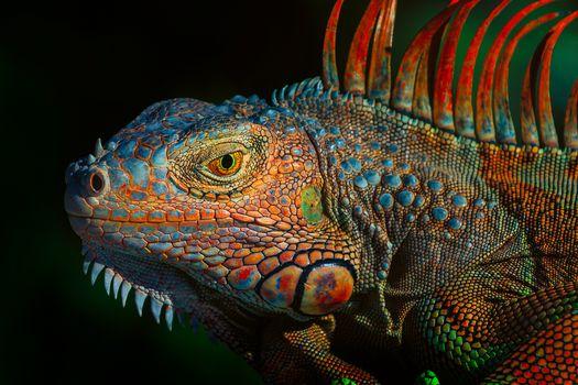 Green Iguana, Green Iguana, large herbivorous lizard of the Iguan family