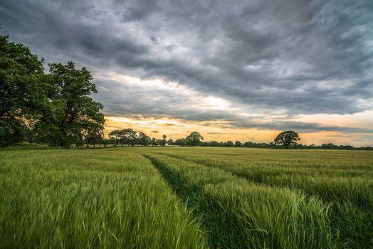 sunset, field, ears, trees, landscape