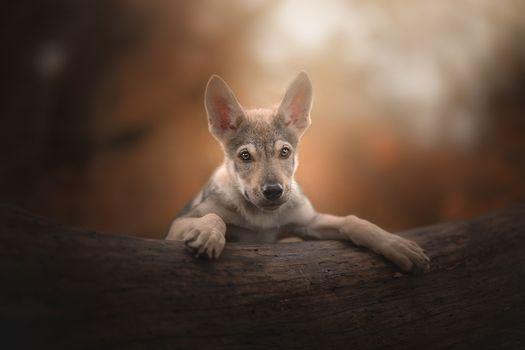 puppy, portrait, Czechoslovak Witchcraft, Czechoslovak wolf dog, sight, dog
