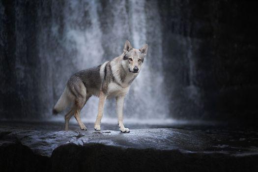 wolf, predator, animal, wolf on the waterfall