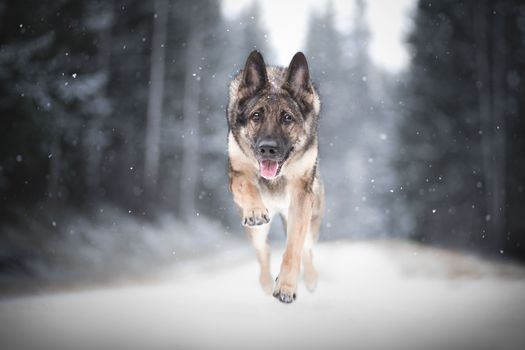 shepherdess, dog, animal, bounce