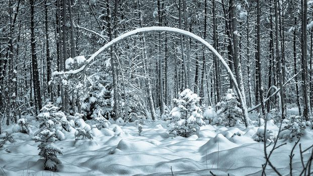 winter, forest, trees, snowdrifts, landscape