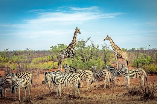 Africa, animals, park, zebra, zebras, giraffe, giraffes