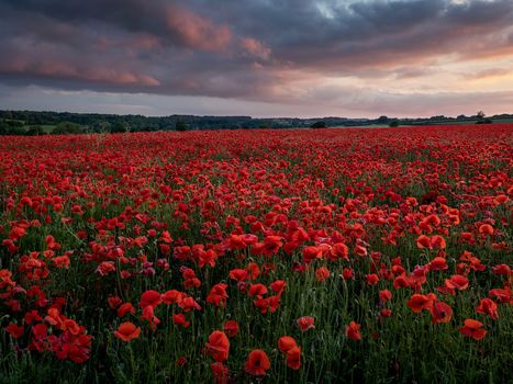 sunset, field, flowers, maki, landscape