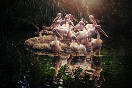 pelicans, water, birds