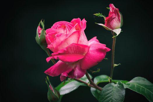 rose flower, flower, flora