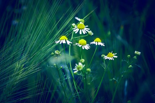 field, chamomile, ears, flowers, flora