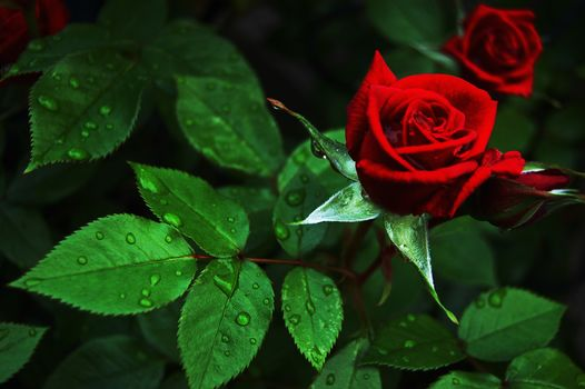 rose flower, roses, flowers, flora