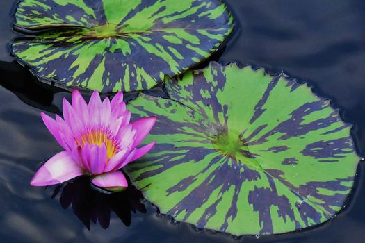 water, water, water lily, flower, flora
