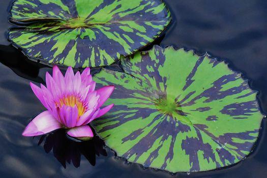 водоём, вода, водяная лилия, цветок, флора
