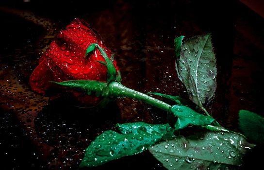 Крутые розы 55 шт