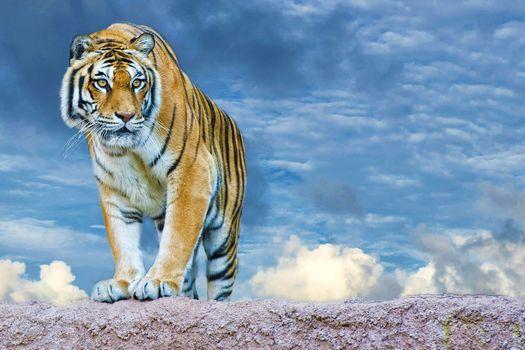 взгляд хищника(тигр)
