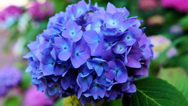 Цветущая гортензия (4К, 30 шт)