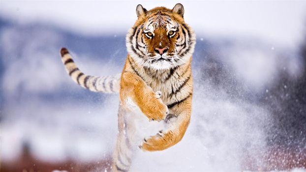 тигр в прыжке, хищник, тигр, зима, снег
