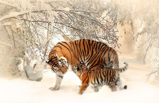 tiger, predator, winter, snow, tigress, tyhrёnok, care and weasel, тигриная ласка, maternal weasel