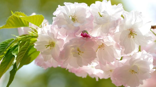 Цветущая сакура (2К, 30 шт)