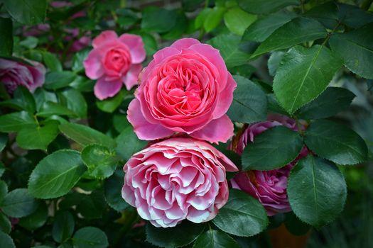 нежные розы 23
