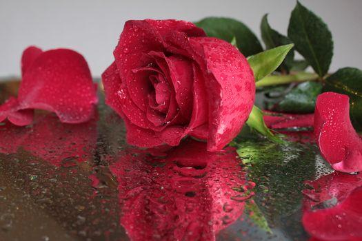 нежные розы 20