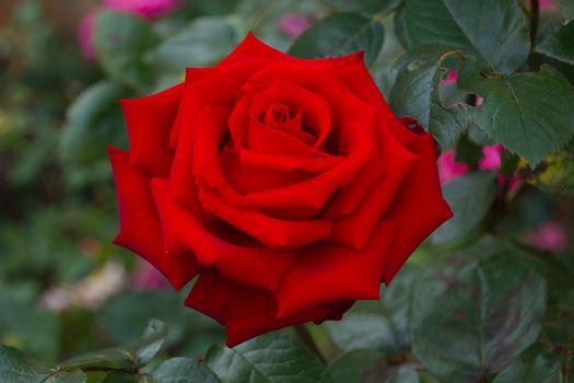 нежные розы 19