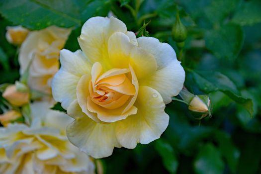 нежные розы 18