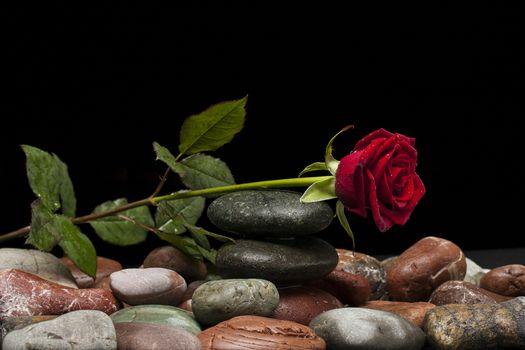нежные розы 17