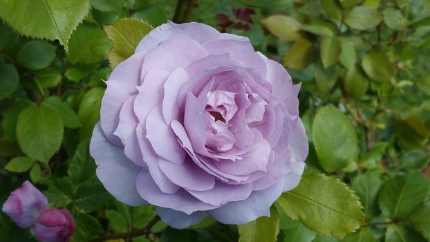 нежные розы 15