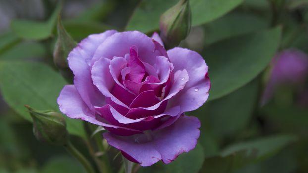 нежные розы 14
