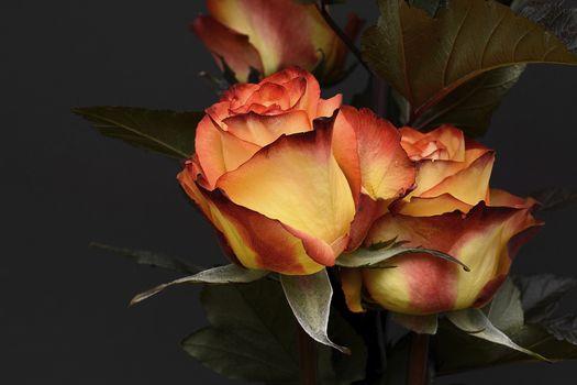 нежные розы 13