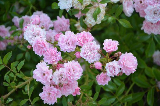 нежные розы 11