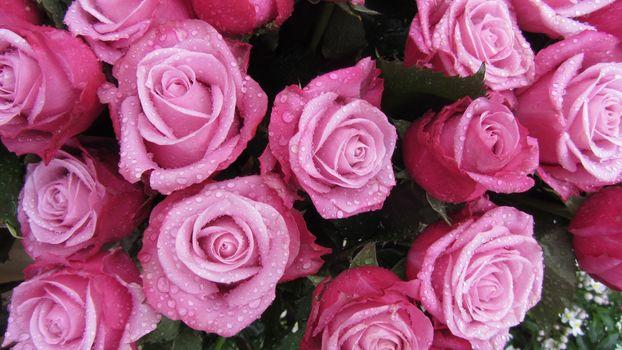 нежные розы 10