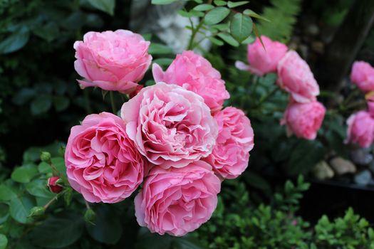 нежные розы 9