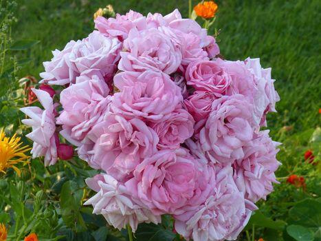 нежные розы 8