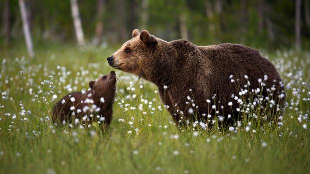 Медведица и детки (Full HD, 30 шт)