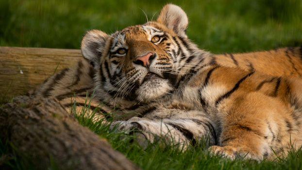 Тигры и тигрята (4К, 30 шт)