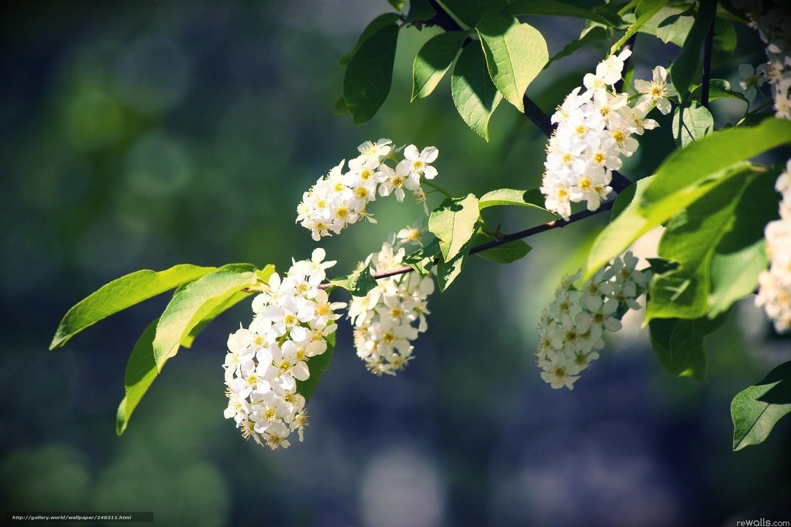 Черемуха цветет обои на рабочий стол