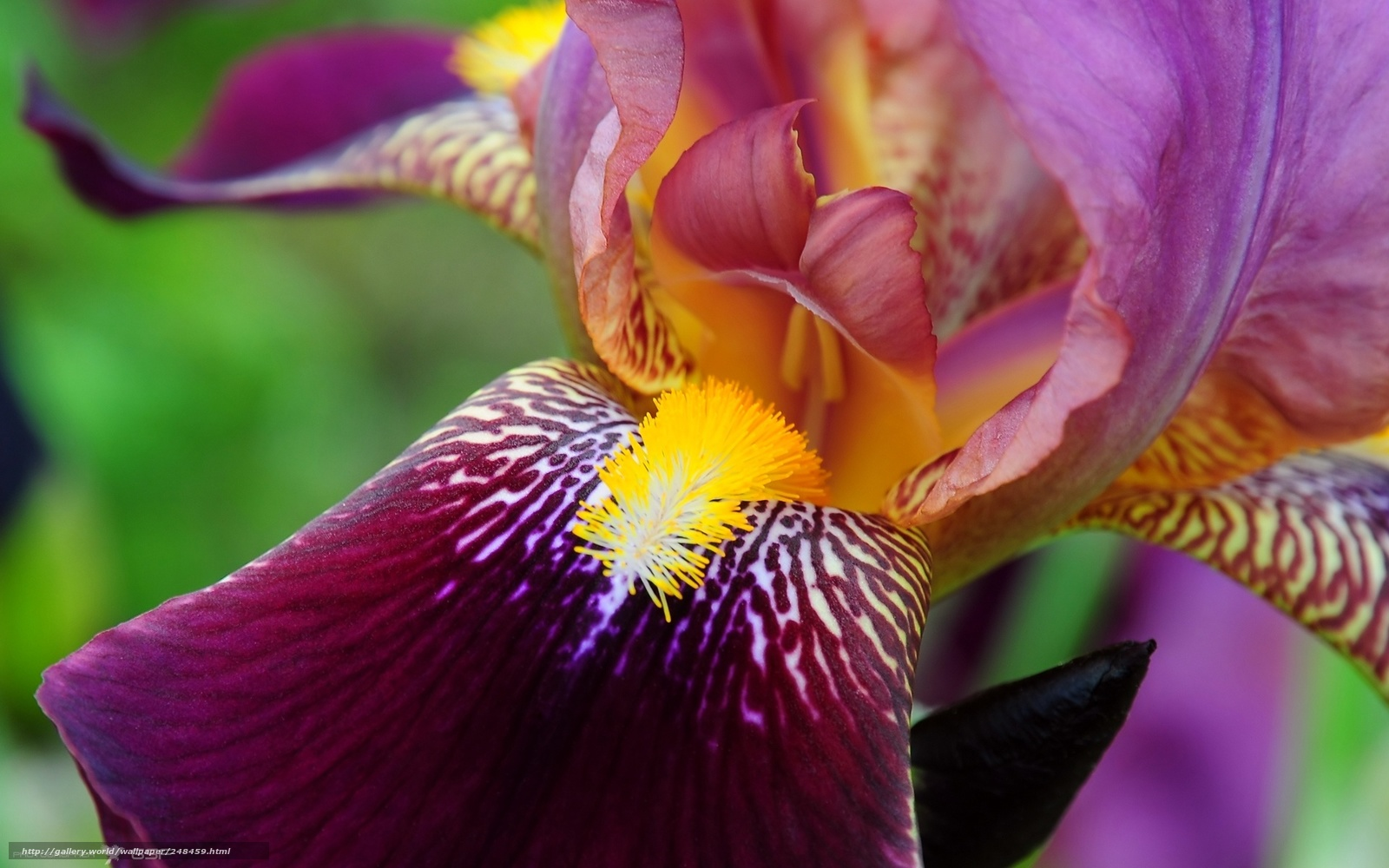 Ирис красивый цветок
