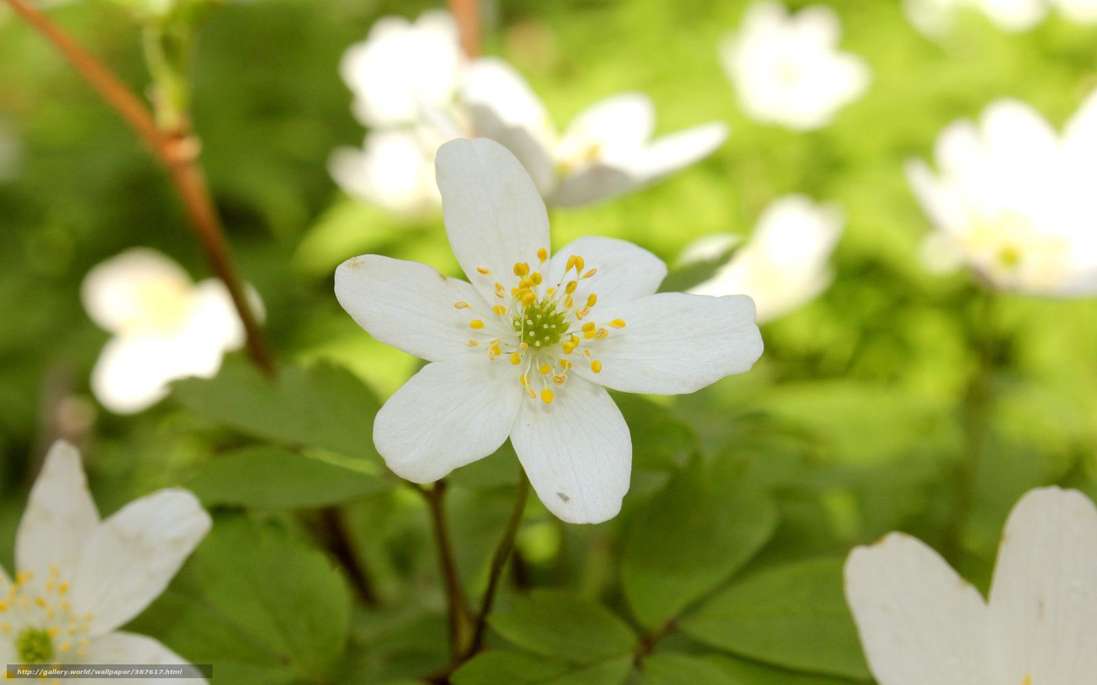 белые цветы цветущие весной
